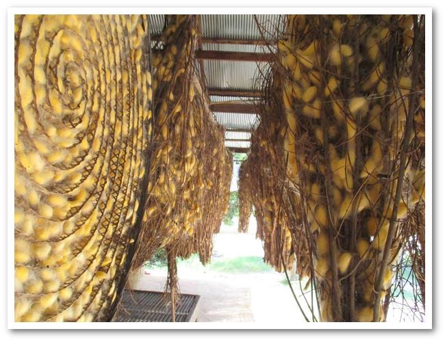 Cocons de soie dorée